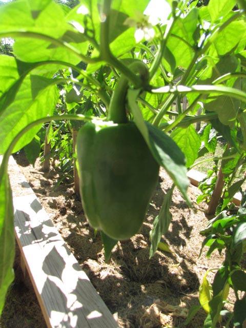 bell-pepper-avila-vegetable-garden