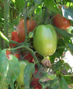 avila garden tomatoes in bloom