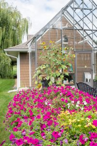 Sunflowers and petunias in blom at greenhouse